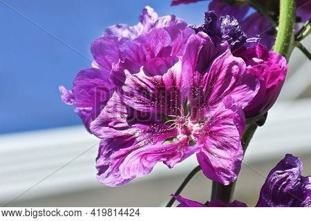 Closeup Of A Cluster Of Purple Hollyhock Flowers Blooming