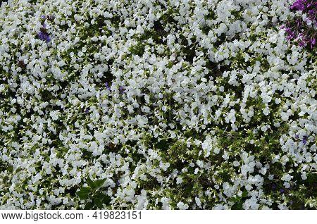 Plant Purple Cushion Phlox Flowers Cushion Flower