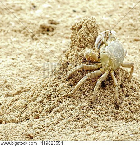 Crab Sand Beach Crab He Is Building A House Close Up. Sand Beach Crab. Summer Vacation