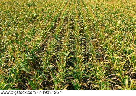 Elevated View Of Rural Maize Field With Rows Corn Sprouts. Green Cornfield Plantation. Agricultural