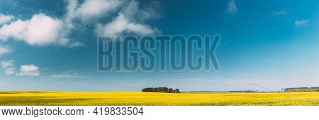 Clear Skyabove Spring Rural Landscape. Grove In Camola Colza Rapeseed Field. Agricultural And Weathe