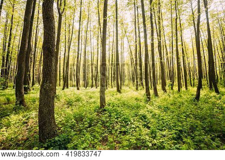 Fresh Spring Green Leaves Lush In Deciduous Forest. European Nature.