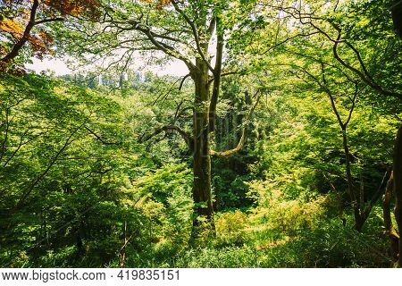 Spring Canopy Of Tall Tree Wood. Upper Branches Of Deciduous Trees At Summer. Nobody.