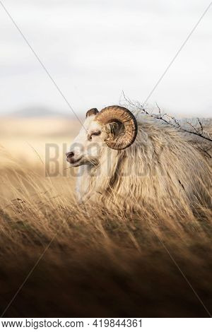 Northern European short-tailed sheep in Iceland