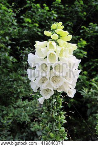 Blooming White Foxglove Or Digitalis Purpurea Flowers