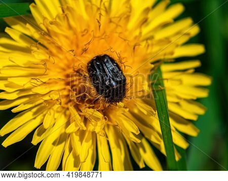 Insect Tropinota Hirta On A Yellow Dandelion Flower. Tropinota Hirta. Hairy Bronze Beetle. Family Sc