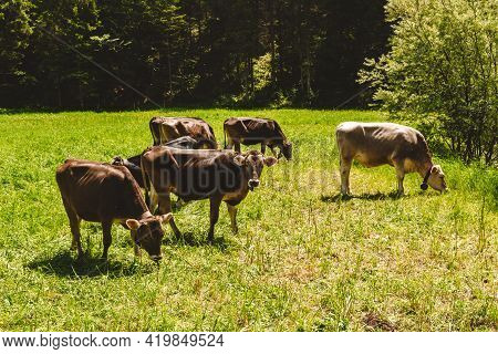 A Cows Grazing On The Green Meadow