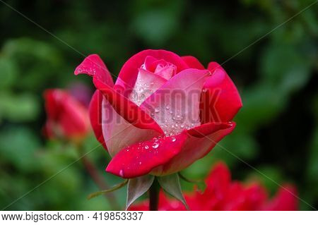 Red Rose With Water Drops Bouquet Of Tulips Beautiful Red Rose With Background Fresh Flower Natural