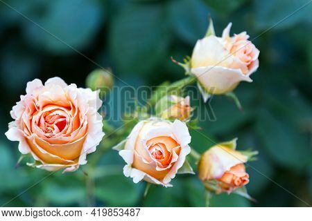 Pink And White Rose On A Green Background Pink Roses Bouquet Beautiful Roses With Background Fresh S