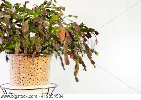 Homemade Green Plant In A Brown Pot On The Balcony In A Metal Stand Under Artificial Light