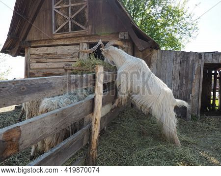 The Domestic Goat Is Capra Hircus, A Species Of Artiodactyls From The Genus Capra Mountain Goats Of