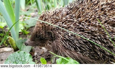 Very Small Young Hedgehog With Black Wet Nose And Grey Spikes Looking Into Camera. Baby Animal Among