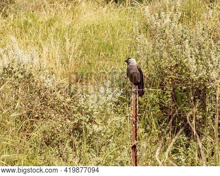 The Black Hooded Crow Sits On A Metal Fence Near The Excavations Of The Ancient Maresha City In Beit