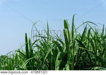 Fresh Green Linear Leaf Of Sugarcane In Agriculture Planting Field Under Vivid Blue Sky