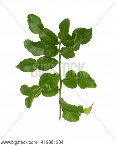 A Bunch Of Green Kaffir Lime Leaves Plant Know As Makrut Vegetable Or Thai Lime Leaf And Citrus Frui
