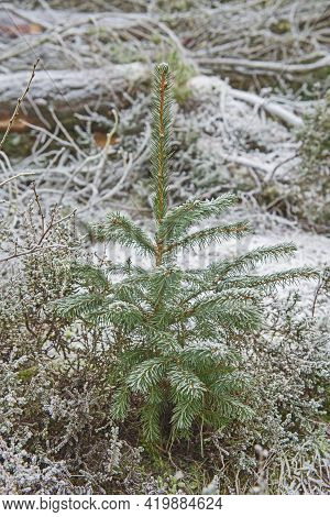 Closeup Of Small Pine Spruce Tree Sapling In Woodland Forest Rural Countryside Landscape In Winter