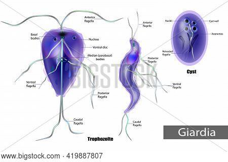 Giardia Anaerobic Flagellated Protozoan Parasites Of The Phylum Metamonada. The Structure Of Giardia