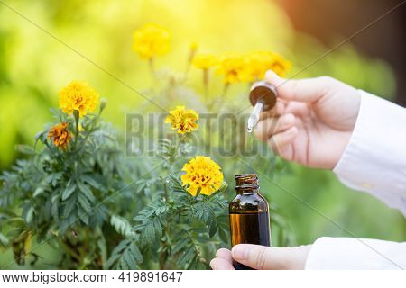 Close Up Hand Pollination Marigold Flowers With Dropper