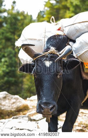 Black Crooked Horn Yak Carries A Load, Nepal