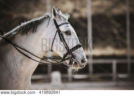 Portrait Of A Beautiful White Horse With A Gray Mane And A Bridle On Its Muzzle, Which Gallops Throu