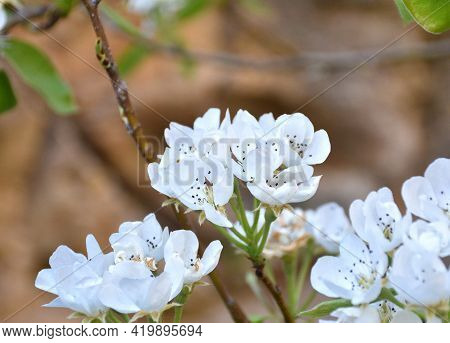White Flowers Of Pear Tree (pyrus Calleryana). Cultivated Fruit Tree, Blooming In Spring. Sunny Day