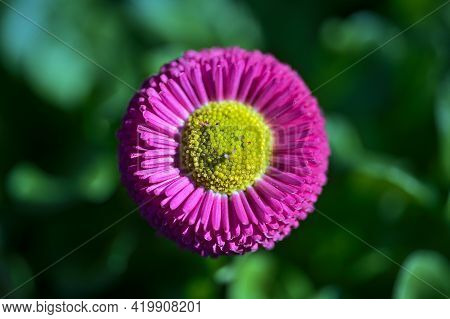 Beautiful Closeup Centered View Of Spring Yellow Stigma Of Single Pink Common Daisy (bellis Perennis