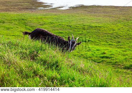 Goat Is Hiding In The Grass . Domestic Animal At The Pasture
