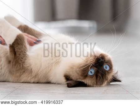 Adorable ragdoll cat with beautiful blue eyes lying on her back on the floor at home and looking at the camera. Closeup portrait of breed feline pet indoors