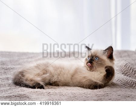 Cute fluffy ragdoll kitten witn beautiful blue eyes lying on the bed and holding its paw up. Portrait of american breed feline kitty resting at home. Little purebred domestic cat indoors