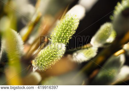 Willow Branches, Fluffy Buds With Yellow Stamens , Spring Background