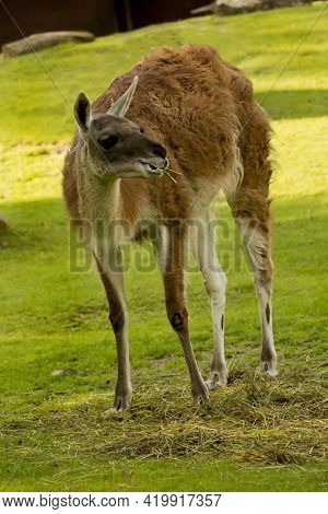 The Guanaco (lama Guanicoe) In The Zoological Park .