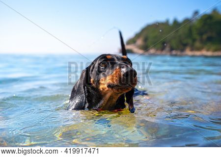 Cute Capable Dachshund Puppy In Swimming Training Floats In Pond. Beautiful Sunny Active Day In Fres