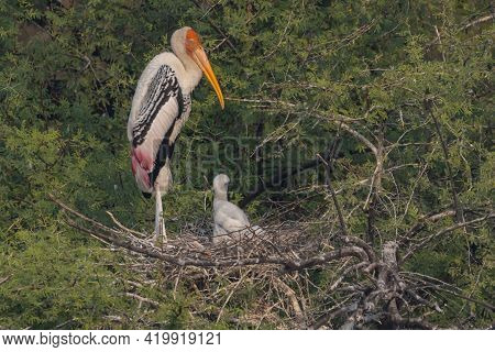 A Painted Stork Also Known As Mycteria Leucocephala Standing With Its Juveniles Siting In Their Nest