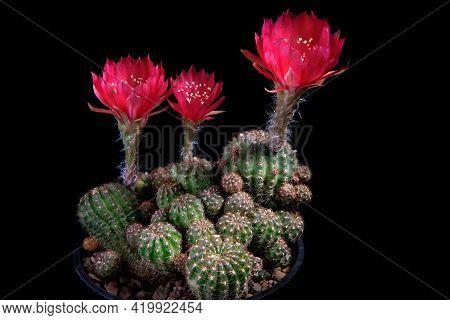 Red Flower Of Lobivia Cactus Agains Dark Background