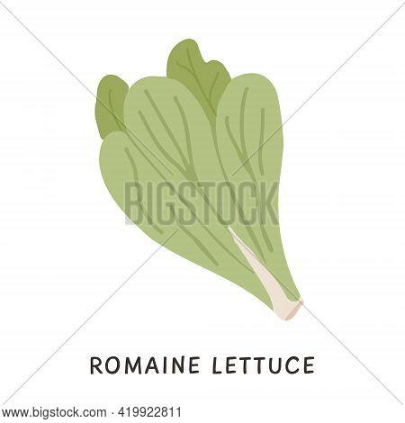 Organic Cos Or Romaine Lettuce Vector Flat Illustration. Dietary Antioxidant Vegetable Leaves Icon I