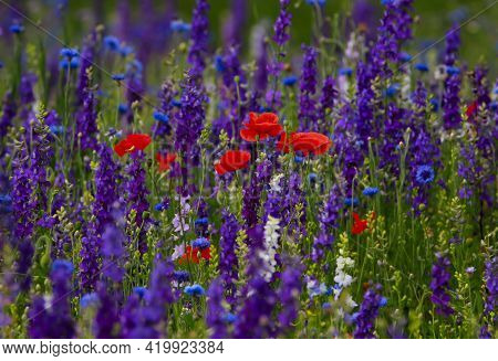 Red Poppies In A Field Of Wildflowers Of Blue Bachelor Buttons And Pink And Purple Larkspurs