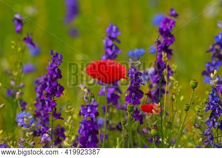 A Pretty Red Poppy Flower In A Field Of Wildflowers Of Blue Bachelor Buttons And Purple Larkspurs