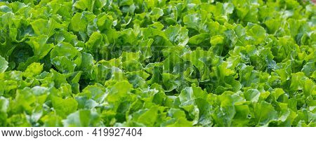 Lettuce Leaf In The Greenhouse. Growing Greens. Young Lettuce Plant. Plantation Of Vegetables.