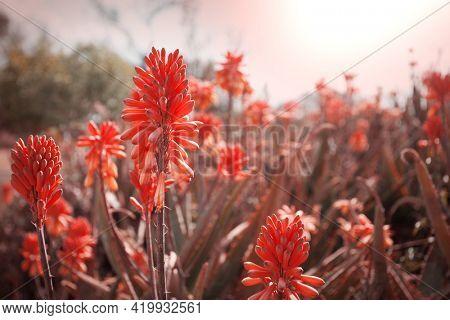 Aloe Vera flowers blossom in lake shore, New Zealand