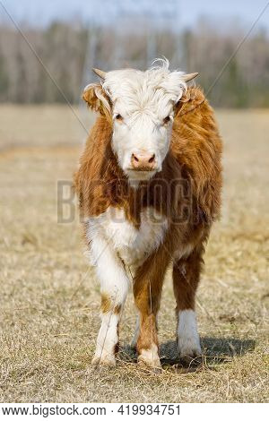 Young Chandler Herefords Cow Portrait. Brown And White Paint Cow. Cute Orange Cow With White Head