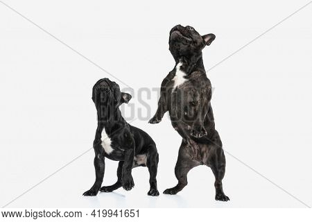 two french bulldog dogs raising on their hind legs trying to reach something against white background