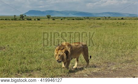 A Lonely Adult Lion Walks Slowly Along The Savannah. Close-up. Green Grass All Around. In The Distan