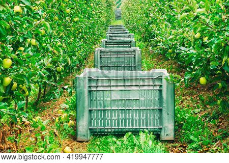 Apple Orchard With Crates. Collection Time. Photo Theme Of Fruit, Agriculture, Healthy Eating, Food