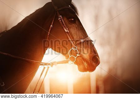 Portrait Of A Beautiful Bay Horse With A Bridle On Its Muzzle, Which Is Illuminated By The Rays Of T