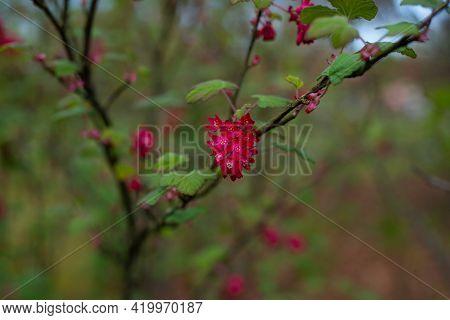 Ribes Sanguineum.flowering Currant, Redflower Currant, Or Red-flowering Currant, Is A North American