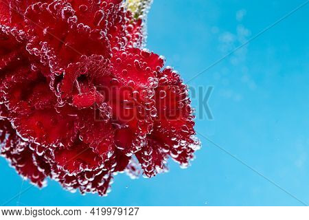 Red Carnation On A Blue Background. Macro Shot Of Carnations For Postcards.