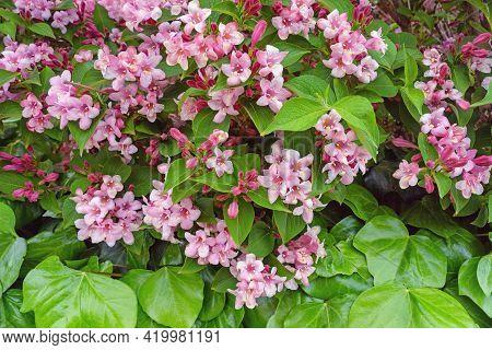 Spring Flowers. Weigela, Deciduous Shrub, In Bloom