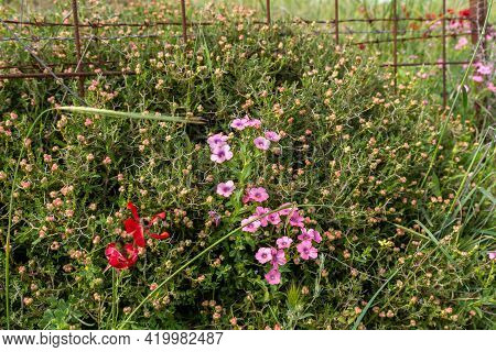 Bushes With Lots Of Small Fresh Pink Flowers Grow In The Meadow Near The Excavations Of The Ancient