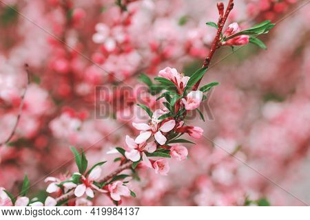 Blooming Branch With Pink Flowers. Close-up. Blooming Pink Almond Bush. Spring Background. Pink Flow