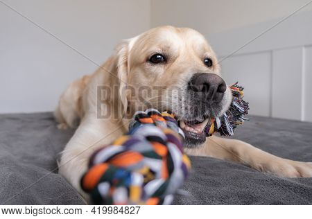 Cheerful Golden Retriever With A Colored Rope Toy In His Teeth. The Big Dog Plays At Home With The O